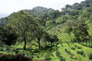Coffee-plantation.jpeg